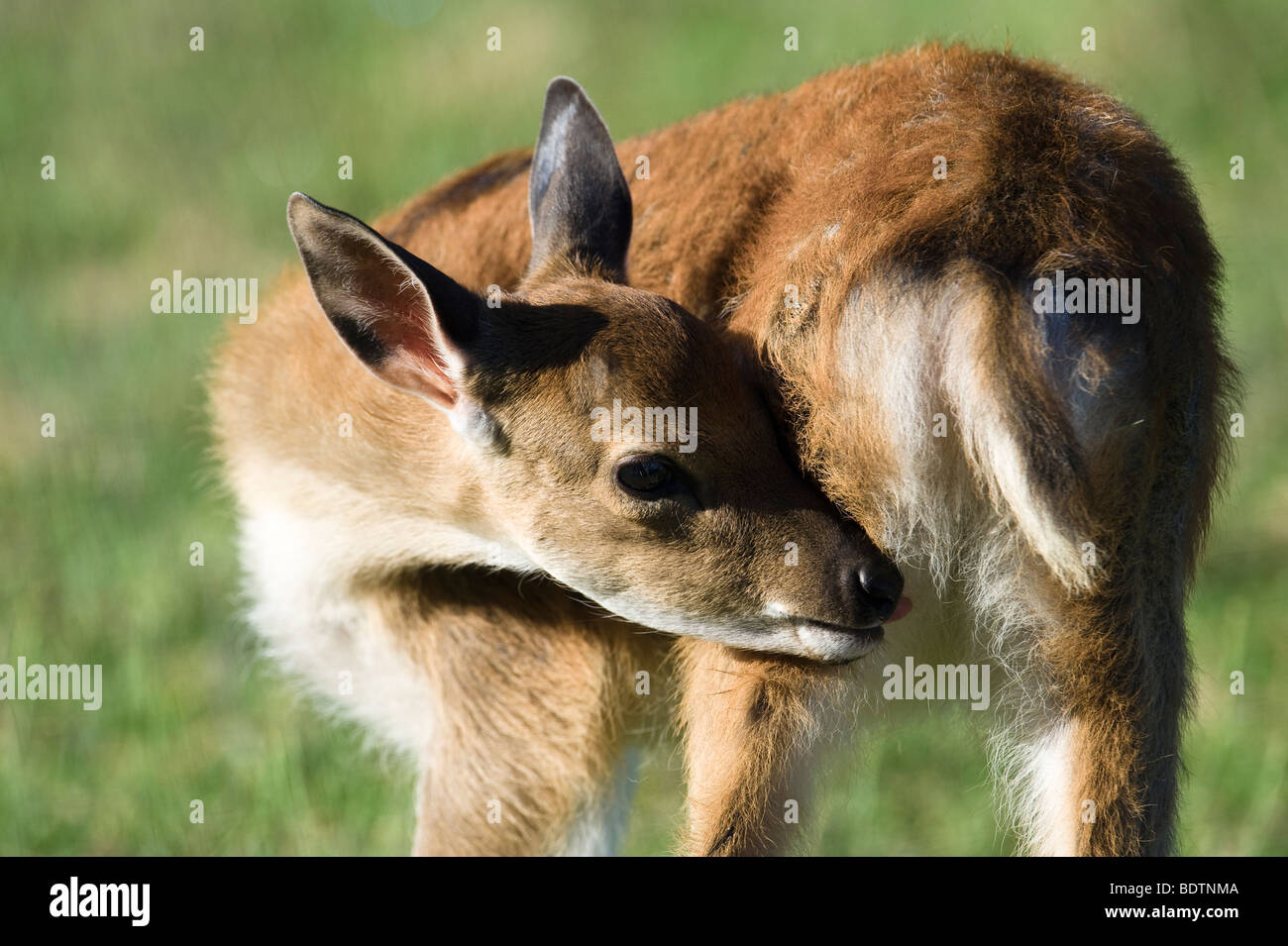 Sika (deer), Cervus nippon, young animal - Stock Image