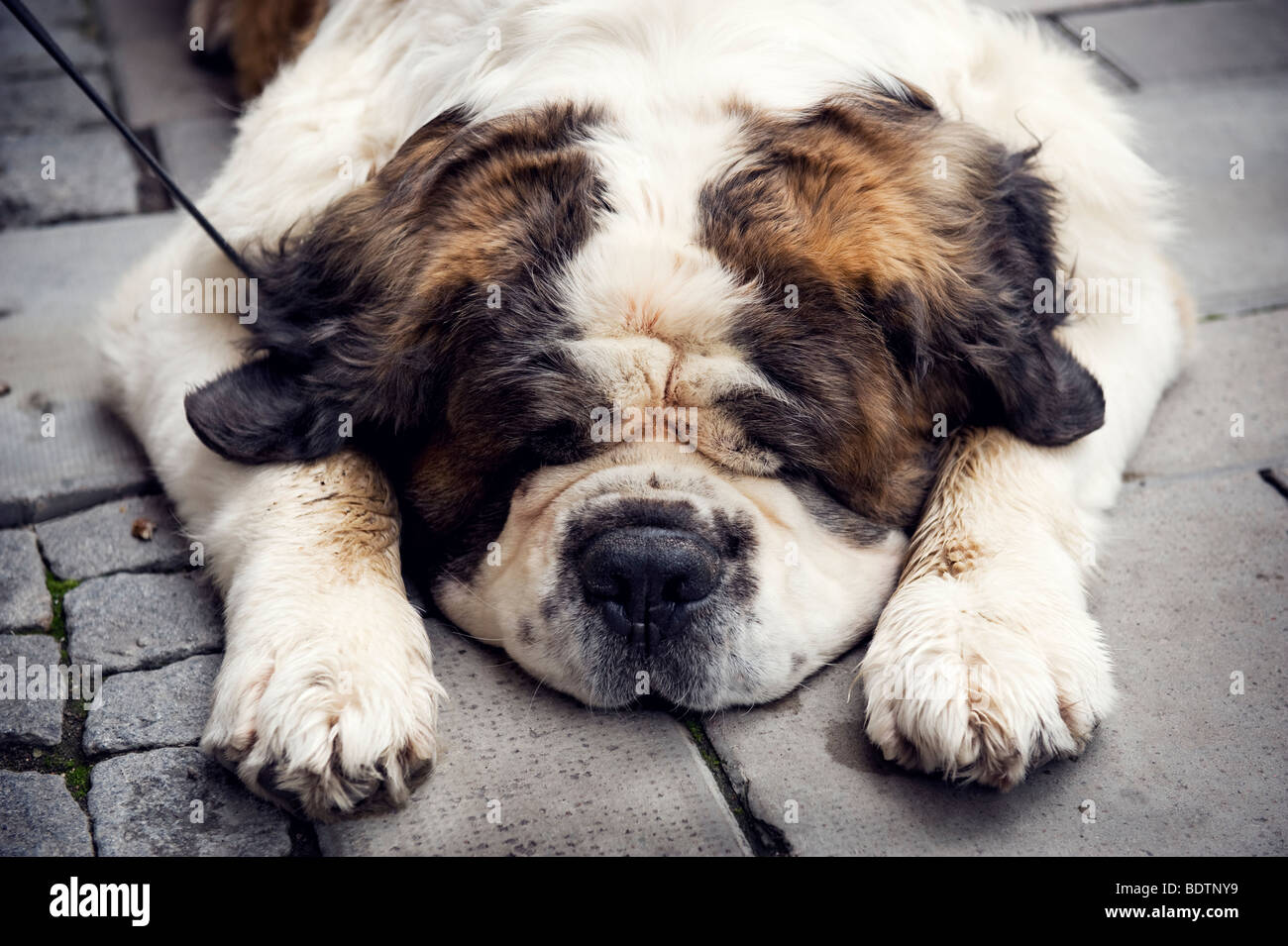 A bored dog lying on the ground - Stock Image
