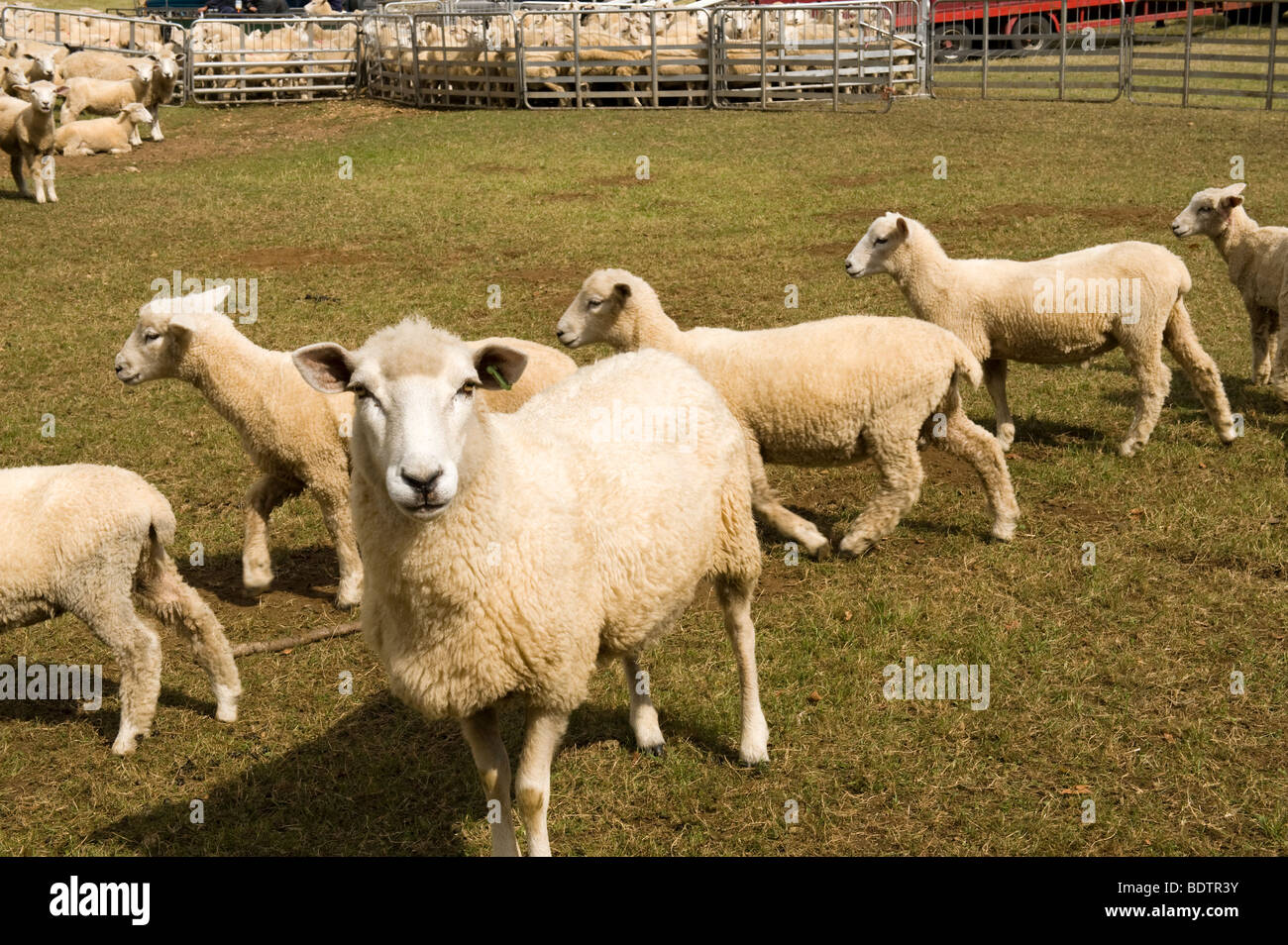 Sheep in pen at Peper Harow - Stock Image
