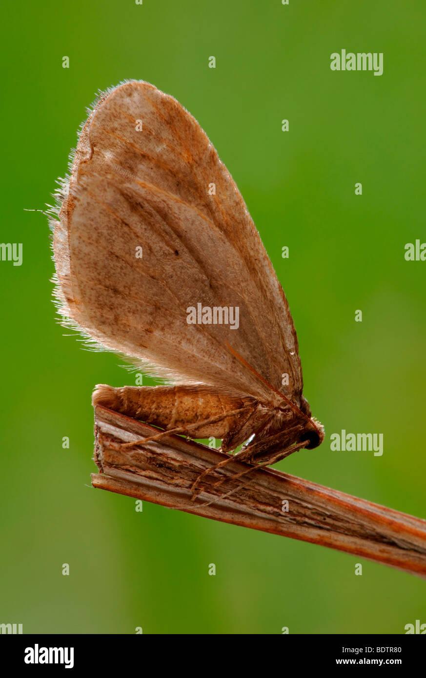 Kleiner Frostspanner, Operophtera brumata, winter moth - Stock Image