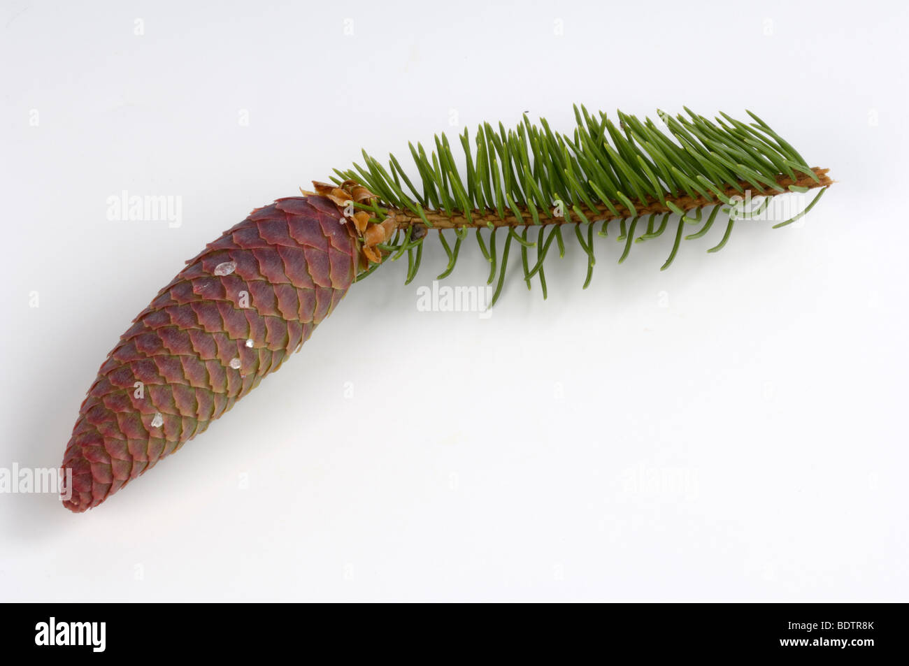 Norway Spruce, cone (Picea abies) cut out - Stock Image