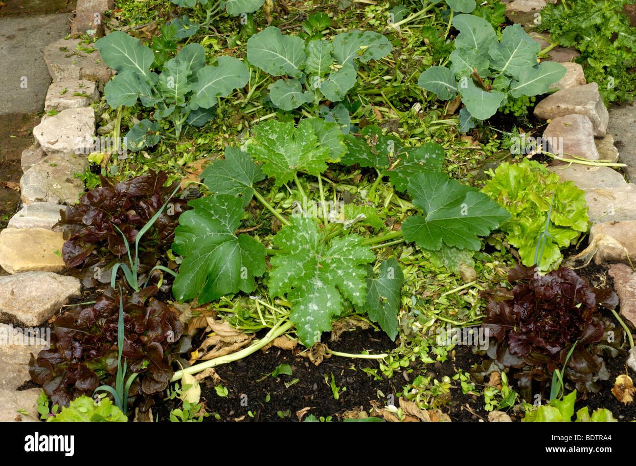 Gemuesebeet mit Salat und Kohl, Bed of vegetables - mulch - Stock Image