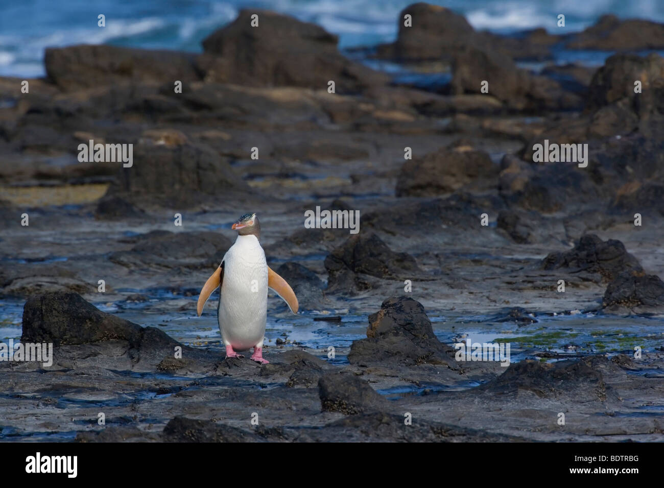 yellow-eyed penguin, (megadyptes antipodes) new zealand, south island, curio bay - Stock Image