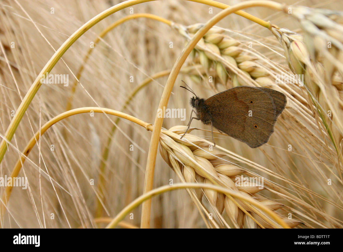 grosses Ochsenauge, Maniola jurtina, Meadow Brown - Stock Image