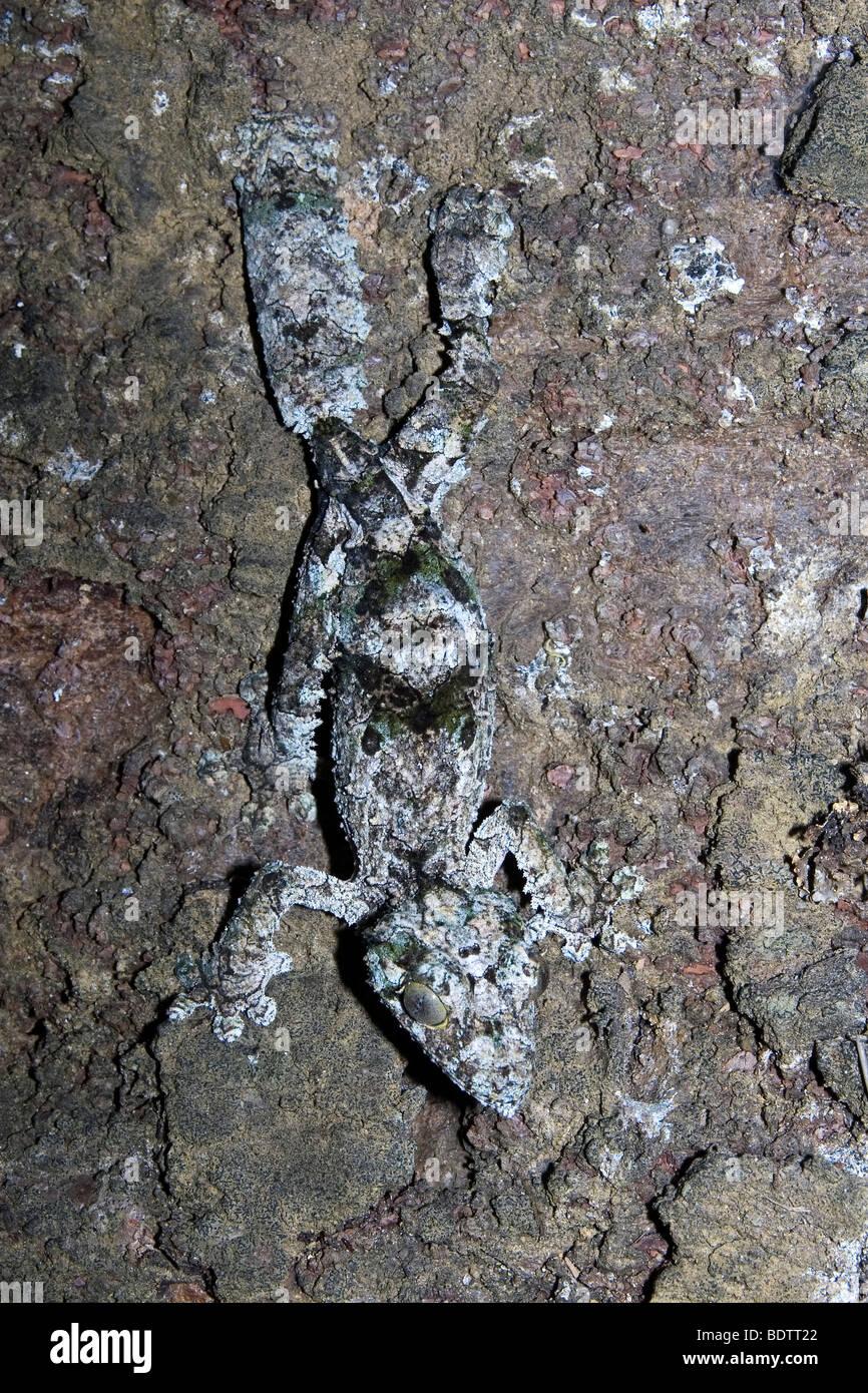Uruplatus fimbriatus, leaf-tailed gecko, Madagascar, africa - Stock Image