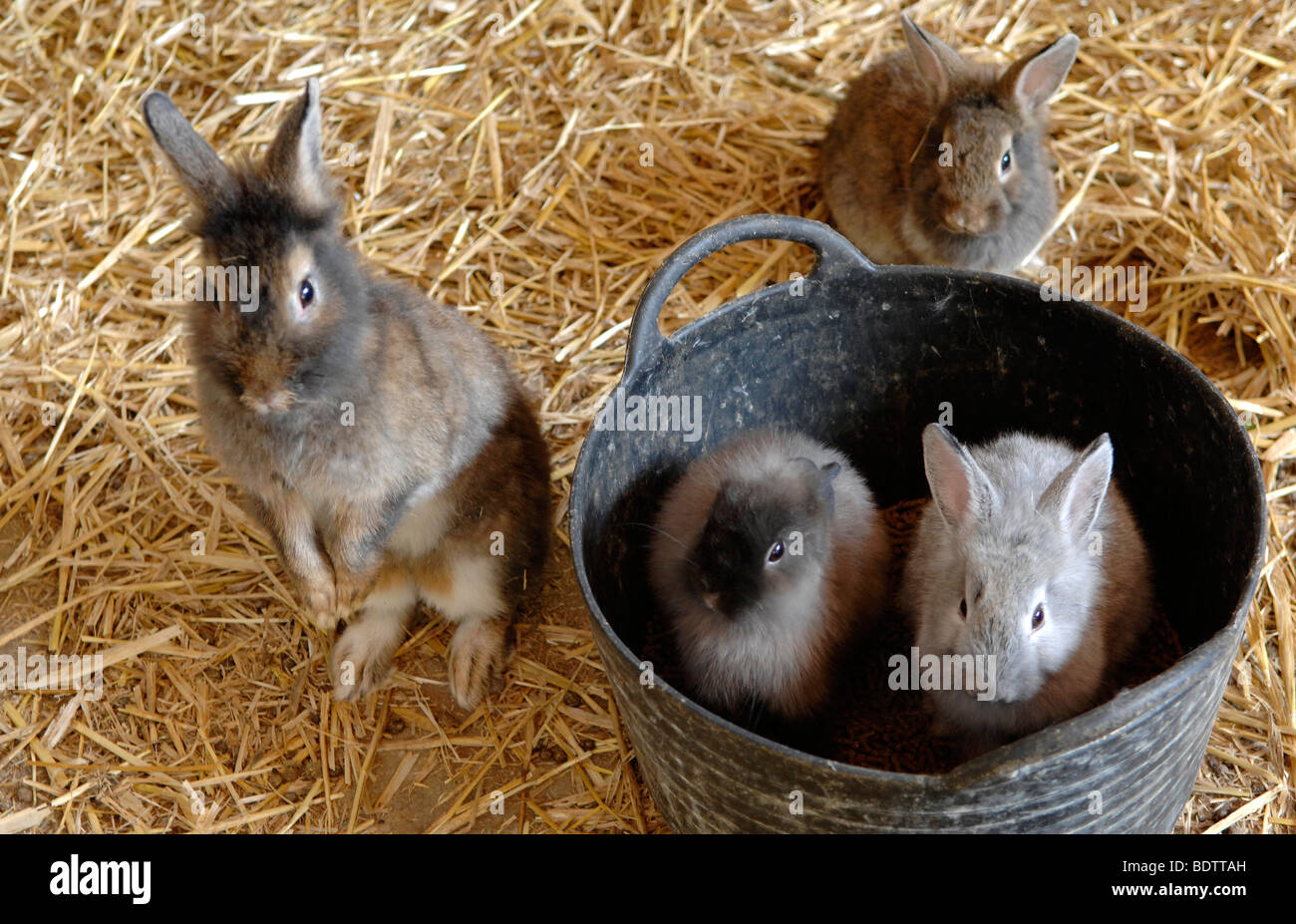 rabbits in bucket - Stock Image