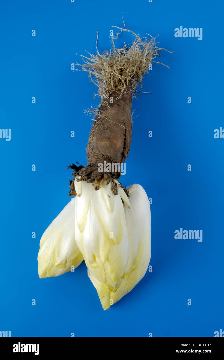 Chicory / (Cichorium intybus var. foliosum) | Chicoree/ (Cichorium intybus var. foliosum) / - Stock Image