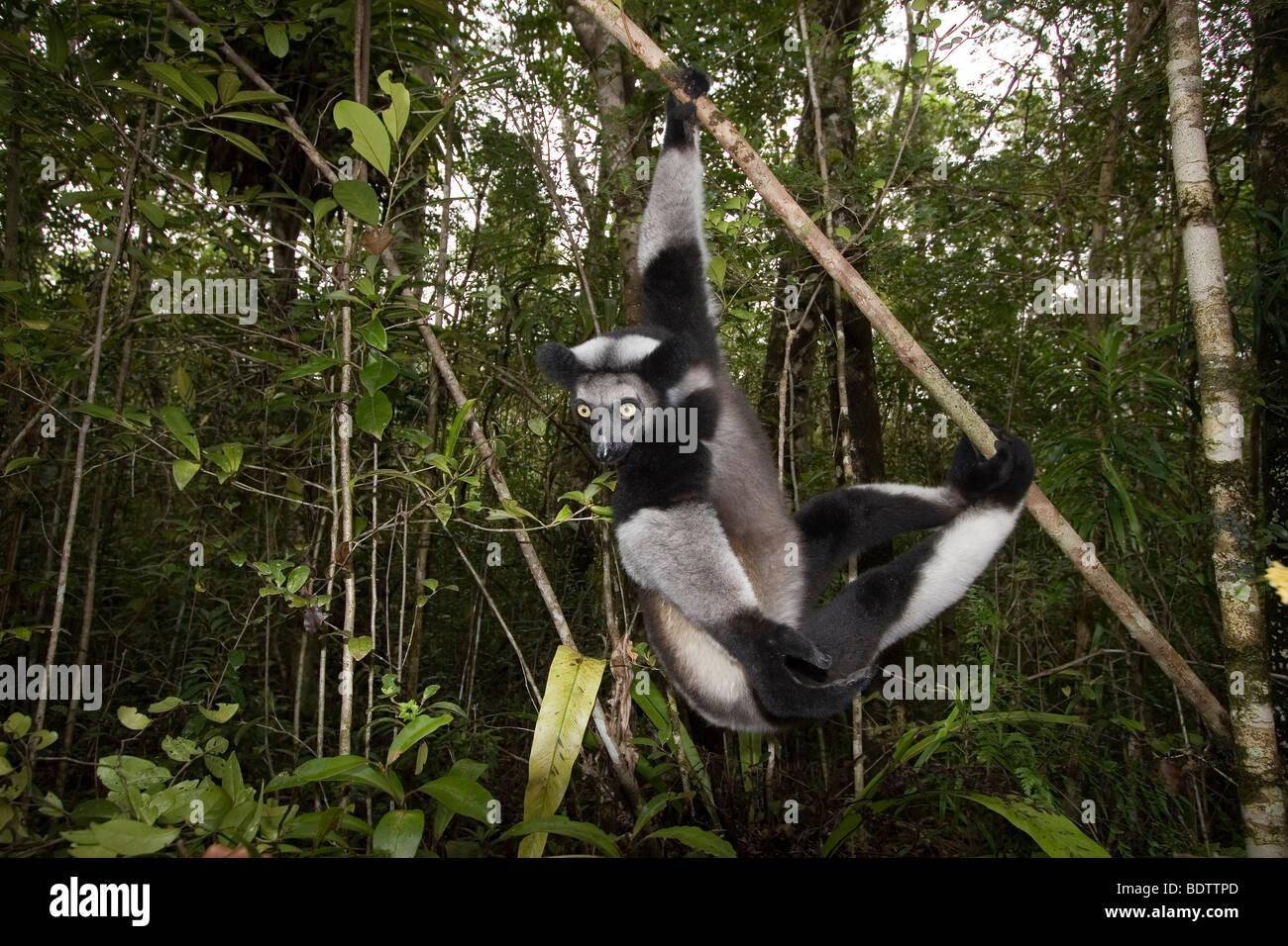 Indri, Indri Indri, Madagaskar, Afrika, Babakoto, madagascar, africa - Stock Image