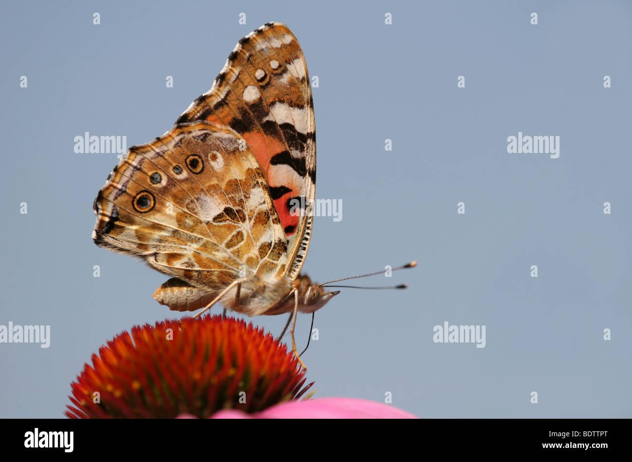 Distelfalter, Vanessa cardui, painted Lady, Sonnenhut, Echinacea - Stock Image