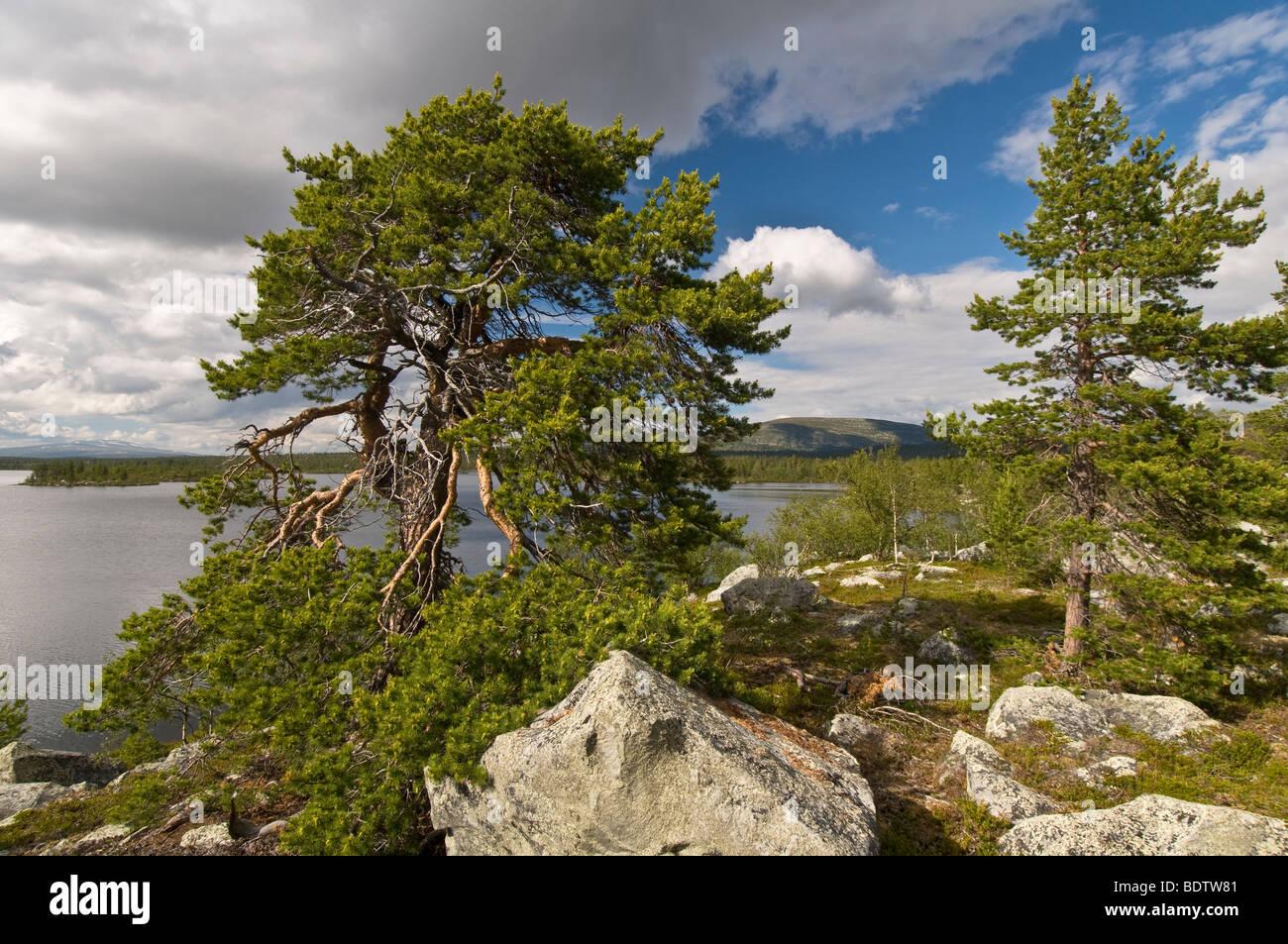 kiefer am see rogen, naturreservat rogen, haerjedalen, schweden, pine tree at lake rogen, nature reserve, sweden - Stock Image