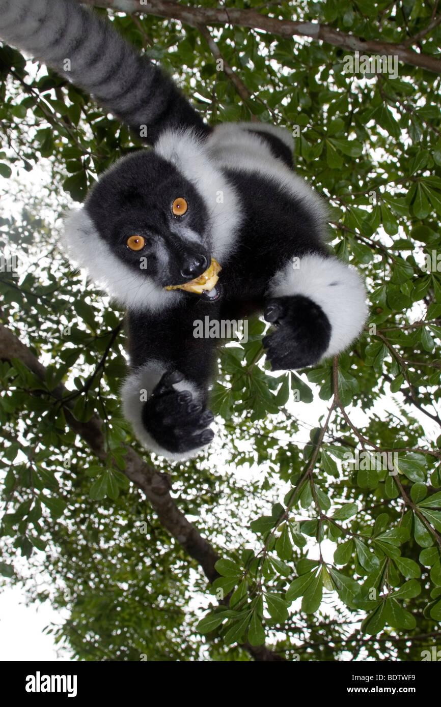 Kragenlemur, Vari varecia variegata, Madagaskar, Afrika, lemur, madagascar, africa - Stock Image