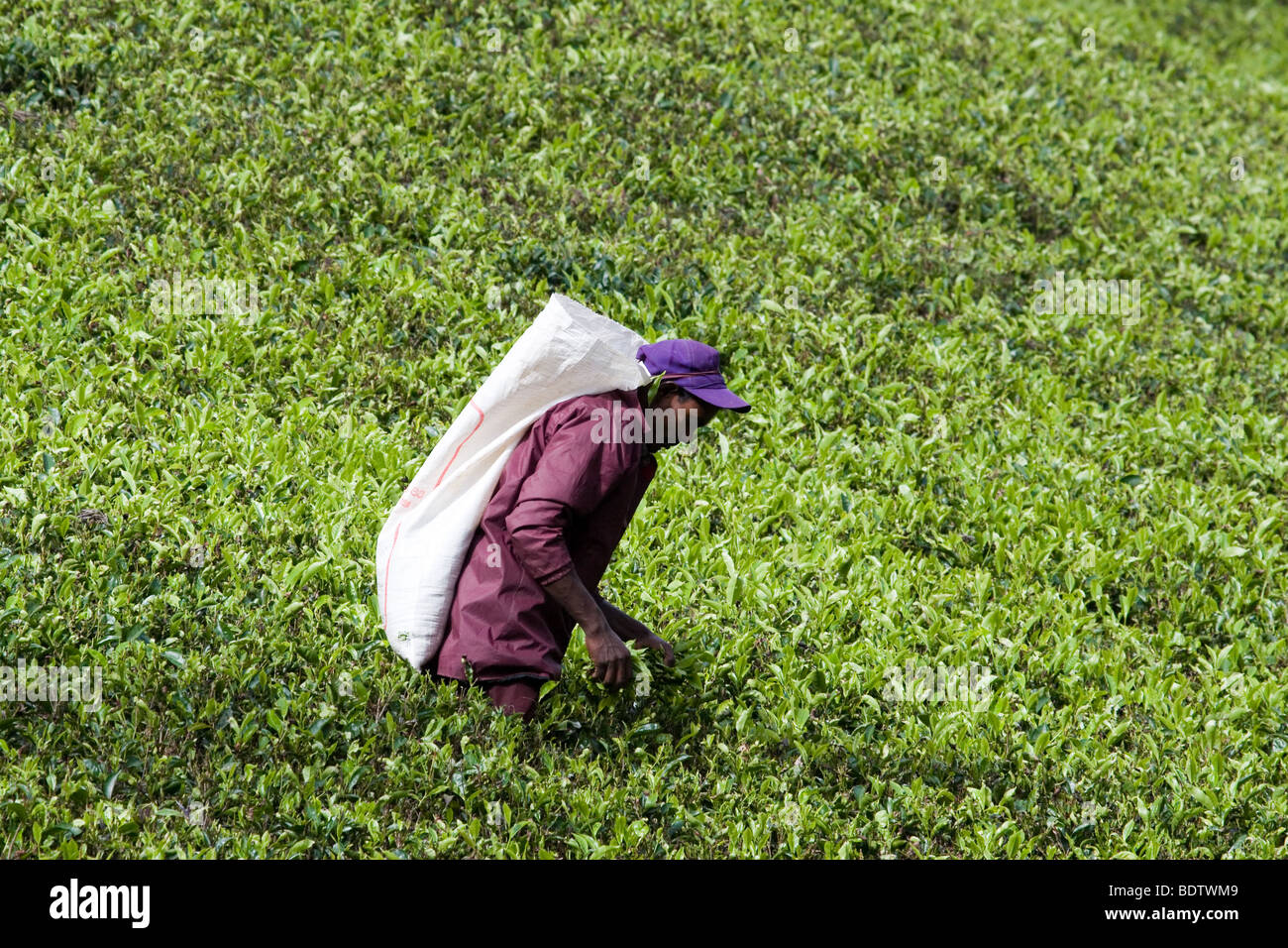 Labor Unrest and Shortage - a male tea plucker does the traditional work of women on a plantation in Bogawantalawa, - Stock Image