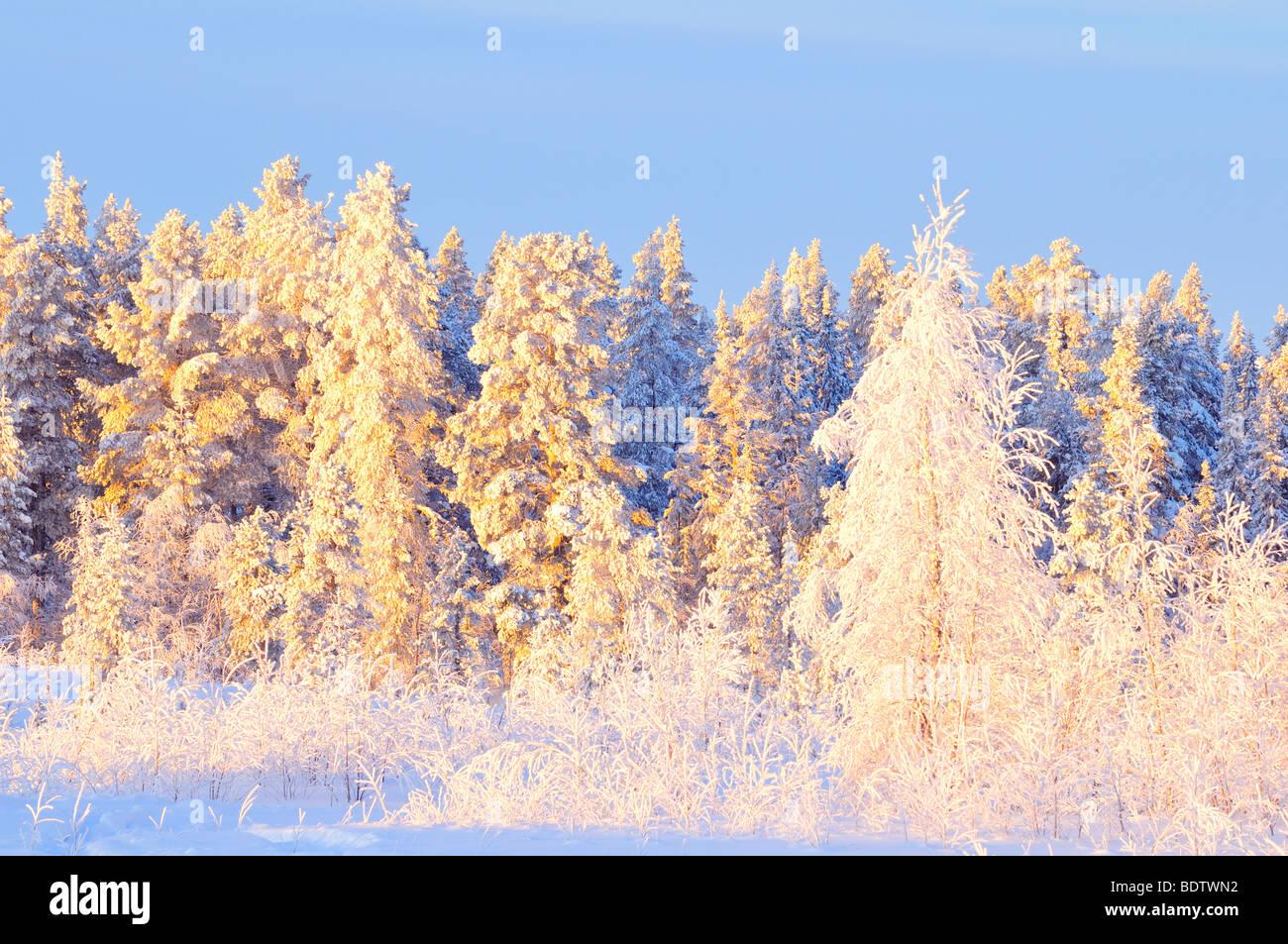 rauhreifueberzogene baeume, trees covered with frost, lapland, sweden - Stock Image