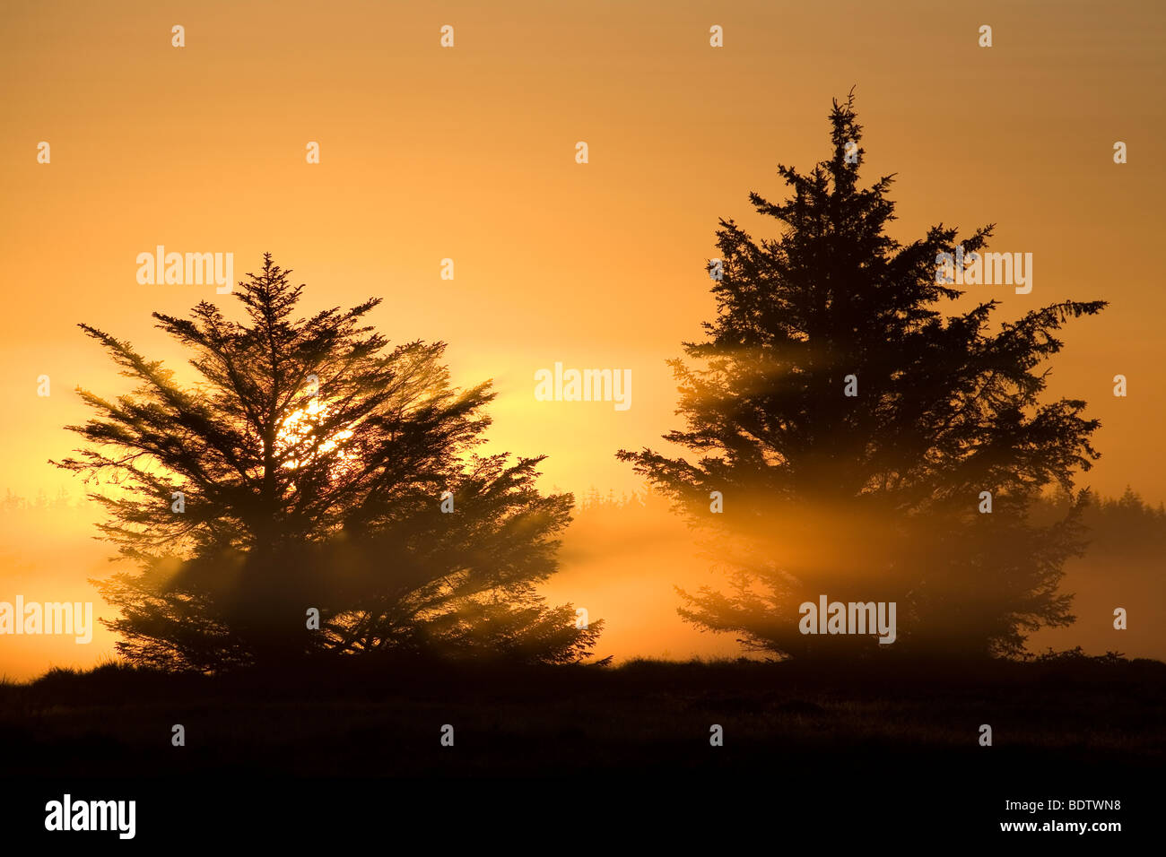 Rotfichten im Morgenlicht, Norway Spruce in the morning sun (Picea abies) - Stock Image