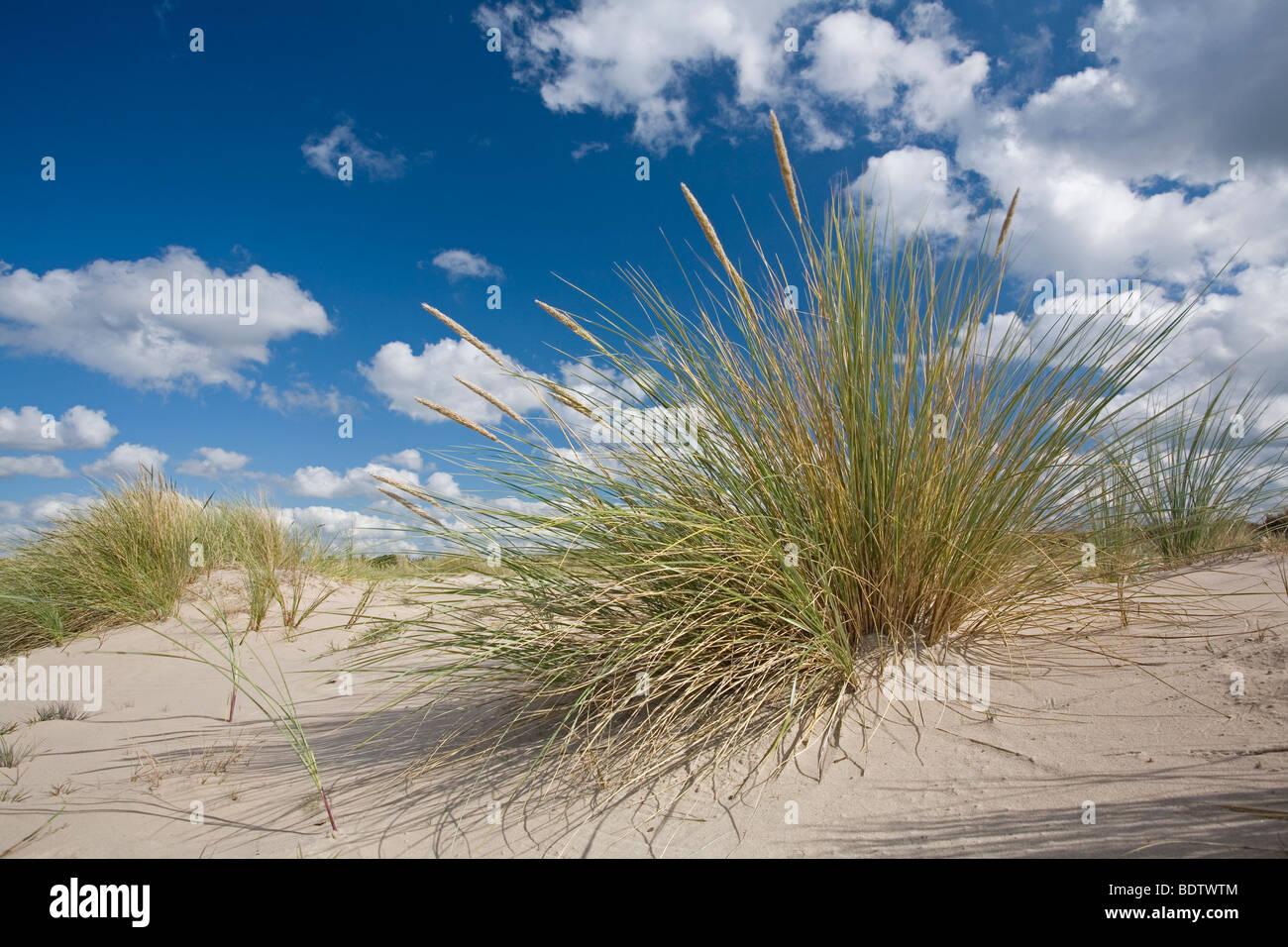 Gemeiner Strandhafer auf Sandduene, Marram on sand dune (Ammophila arenaria) - Stock Image