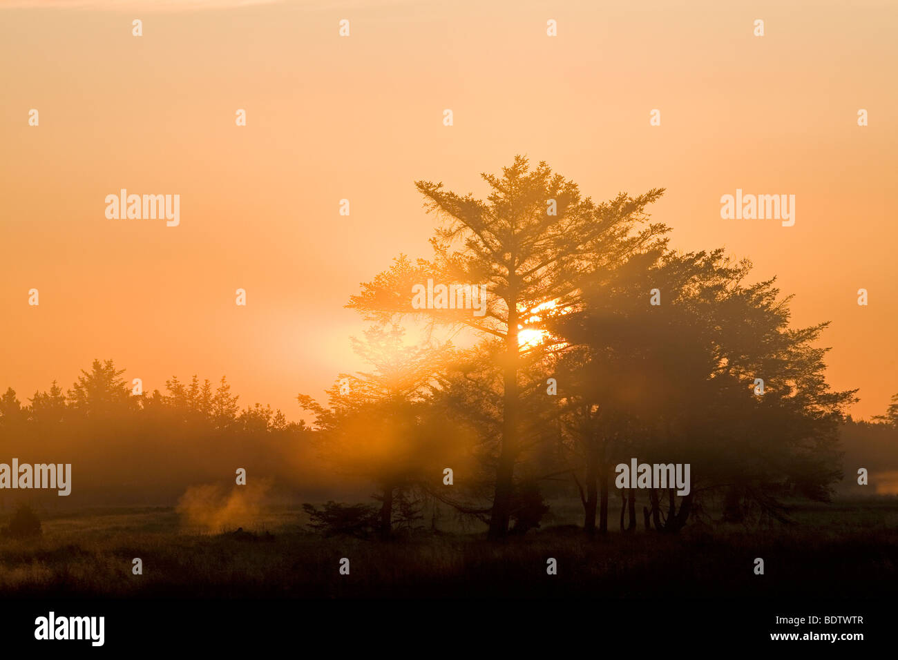 Rotfichten im Morgenlicht / Norway Spruce in the morning sun / Picea abies - Stock Image