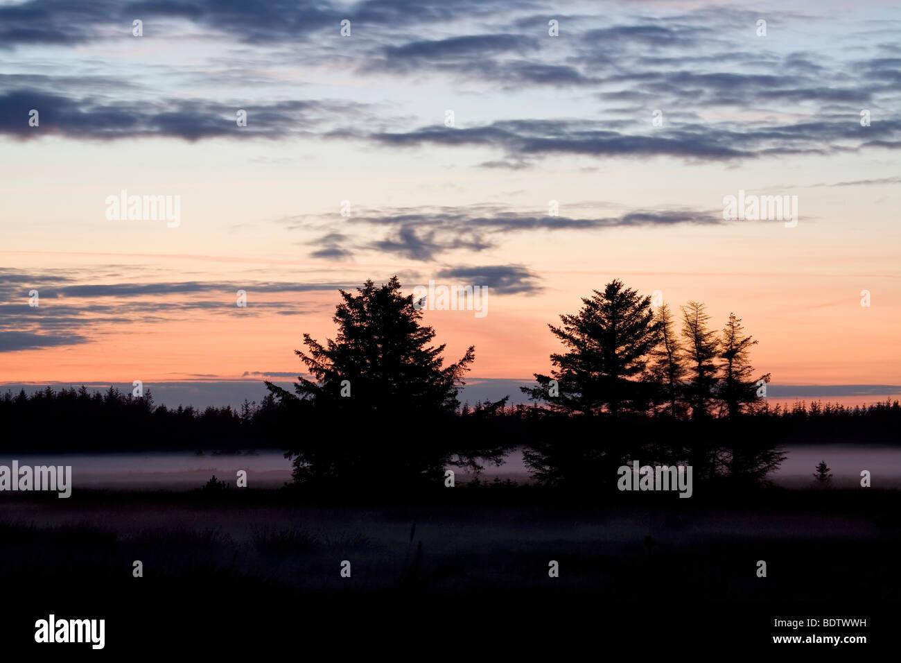 Rotfichten im Abendlicht / Norway Spruce in sunset / Picea abies - Stock Image