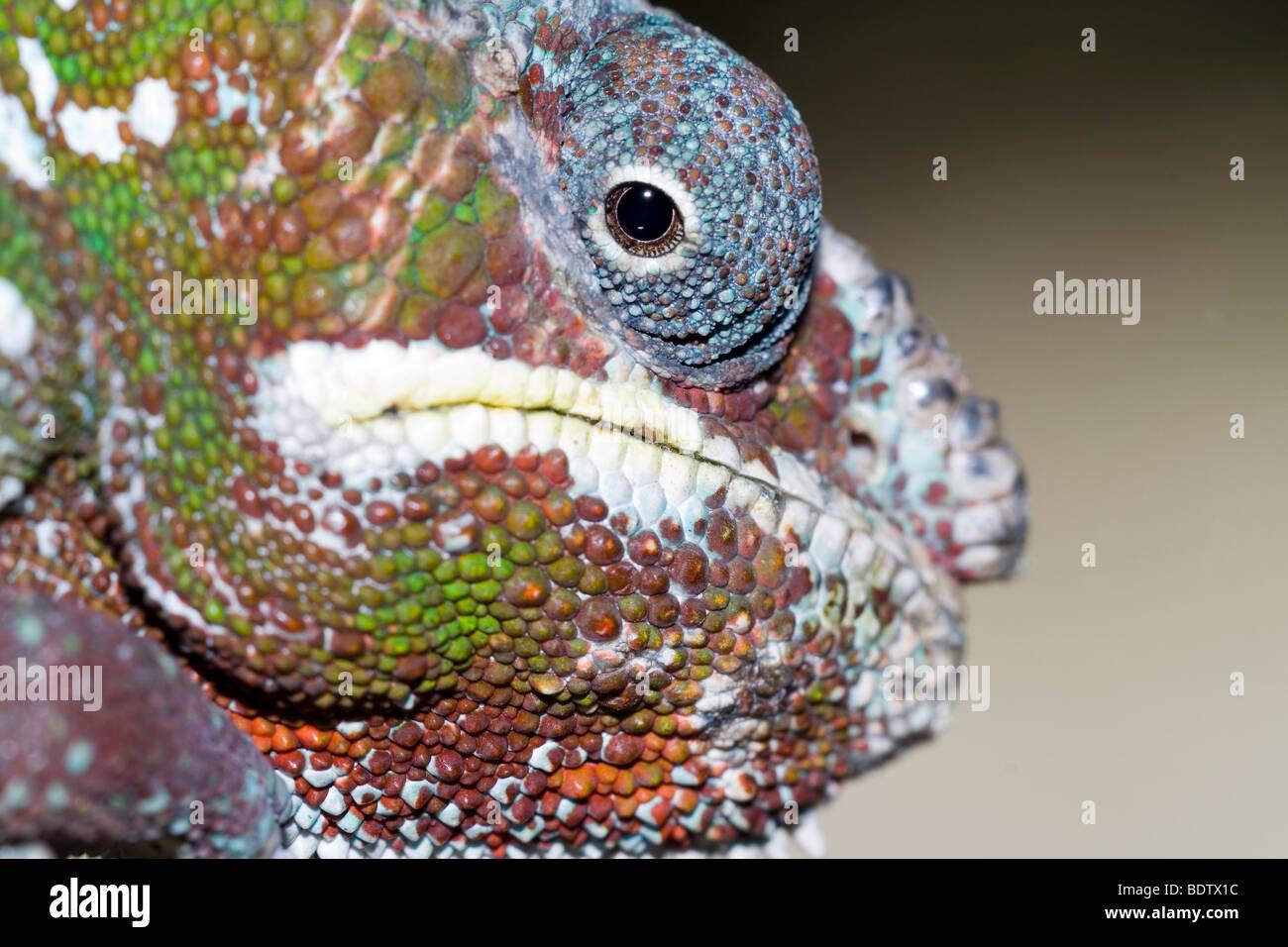 Pantherchamaeleon, maennlich, maennchen, male, Furcifer pardalis, panther chameleon, madagascar, africa, Madagaskar, - Stock Image