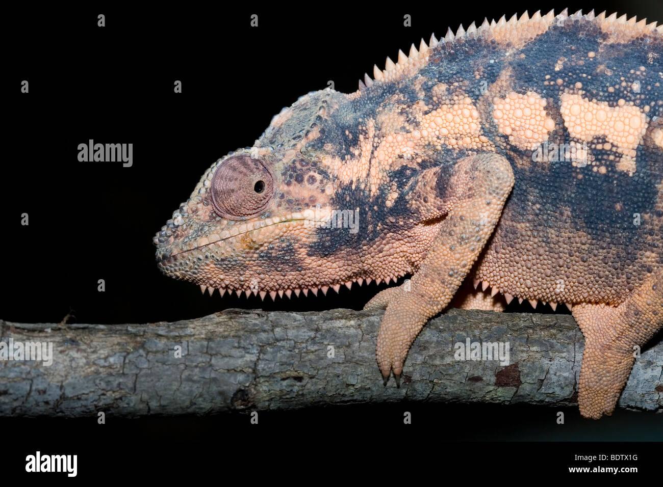 Pantherchamaeleon, weibchen, weiblich, female, Furcifer pardalis, panther chameleon, madagascar, africa, Madagaskar, - Stock Image