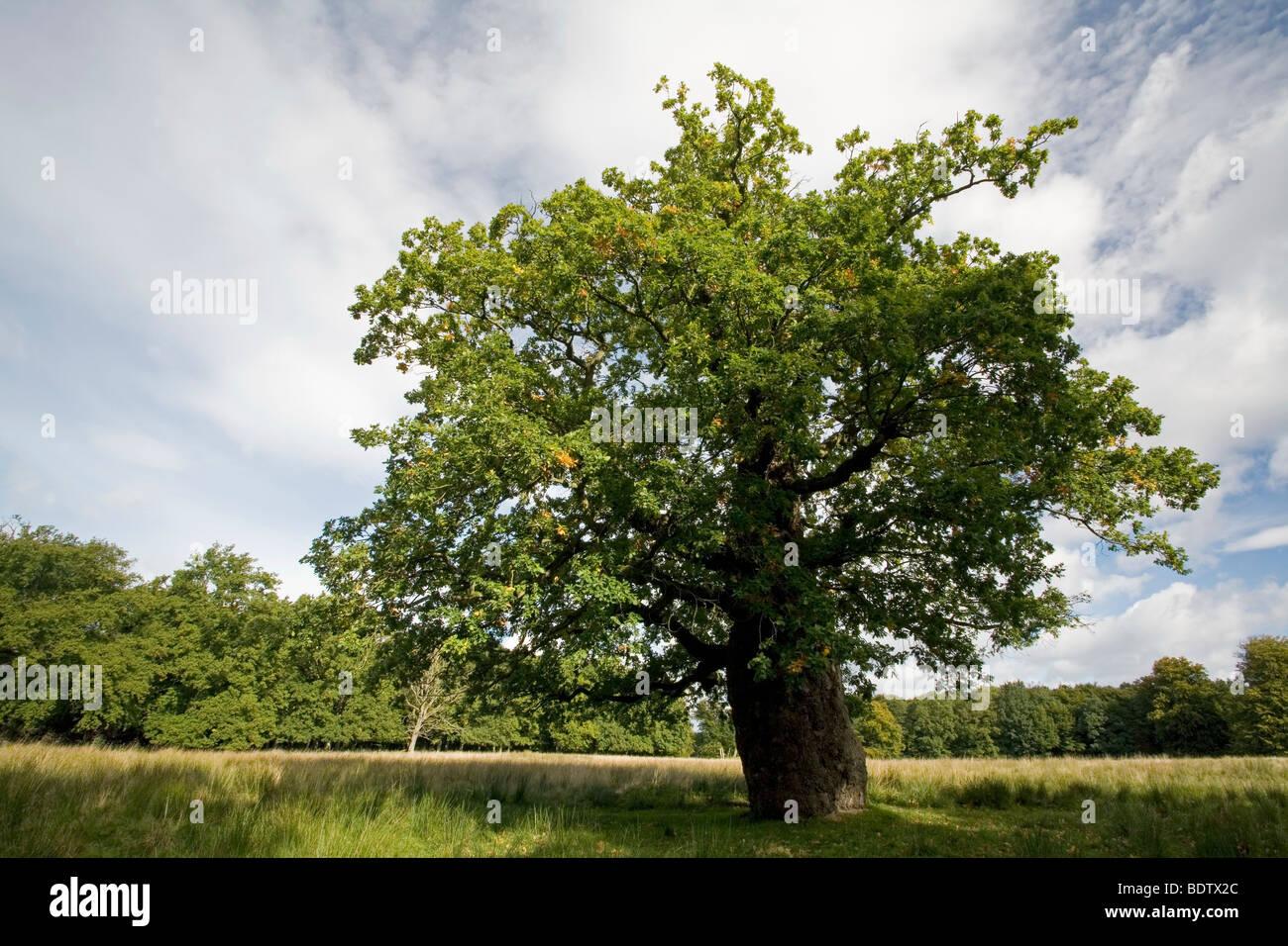 Stieleiche - (Sommereiche) / Pedunculate Oak / Quercus robur - (Quercus pedunculata) - Stock Image