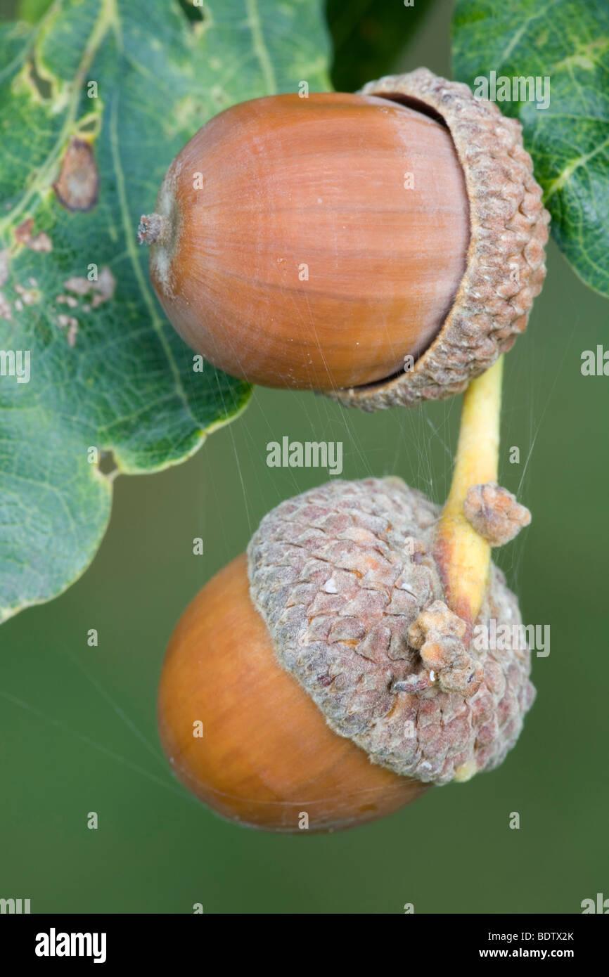 Eicheln - Fruechte der Stieleiche / Acorns - fruits from Pedunculate Oak / Quercus robur - (Quercus pedunculata) - Stock Image
