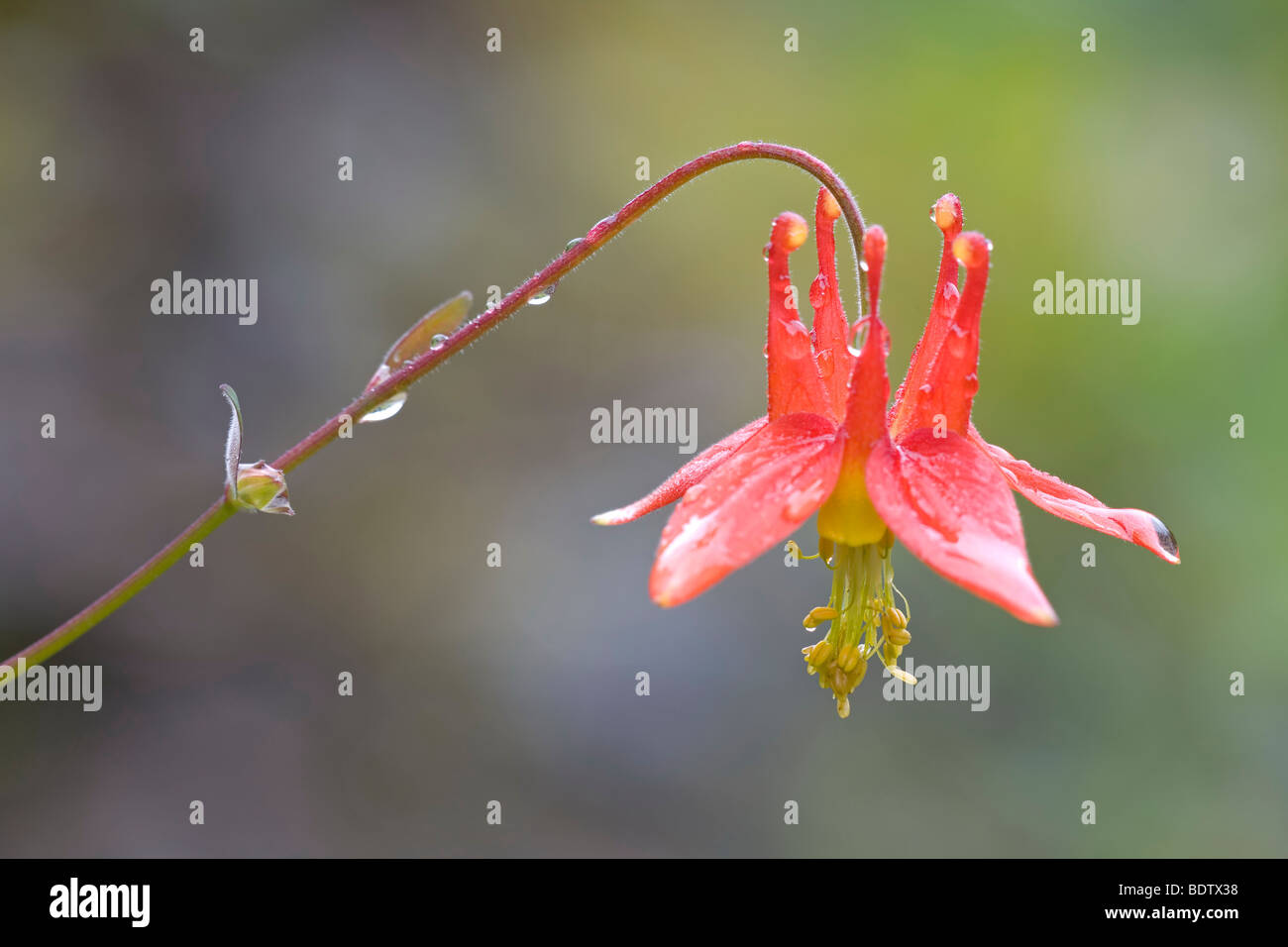 Karmesinrote Akelei - (Western-Akelei) / Western Columbine - (Crimson Columbine) / Aquilegia formosa - Stock Image