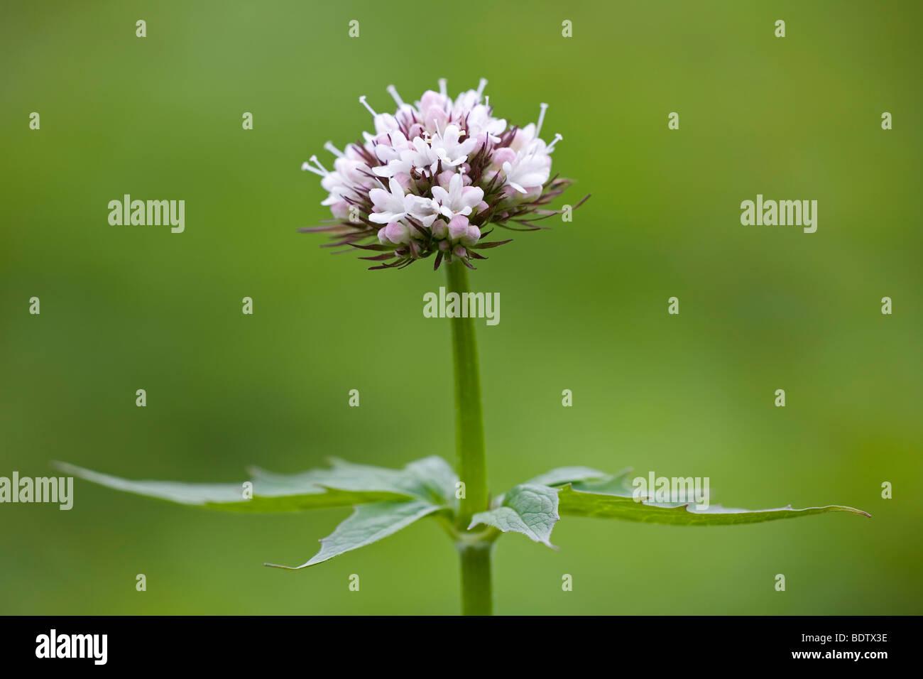 Baldrian - (Dt.Name unbekannt) / Sitka Valerian / Valeriana sitchensis - Stock Image
