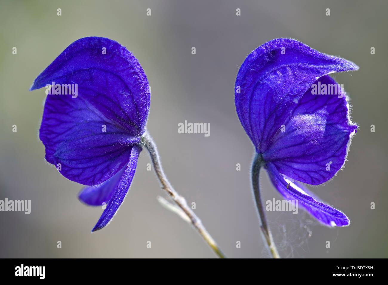 Eisenhut - (Dt.Name unbekannt) / Larkspurleaf Monkshood / Aconitum delphiniifolium - Stock Image