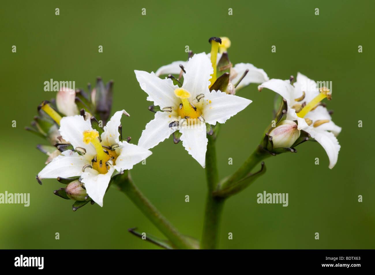 Fieberkleegewaechs - (Dt.Name unbekannt) / Deer Cabbage -(Deercabbage) / Nephrophyllidium crista-galli Stock Photo
