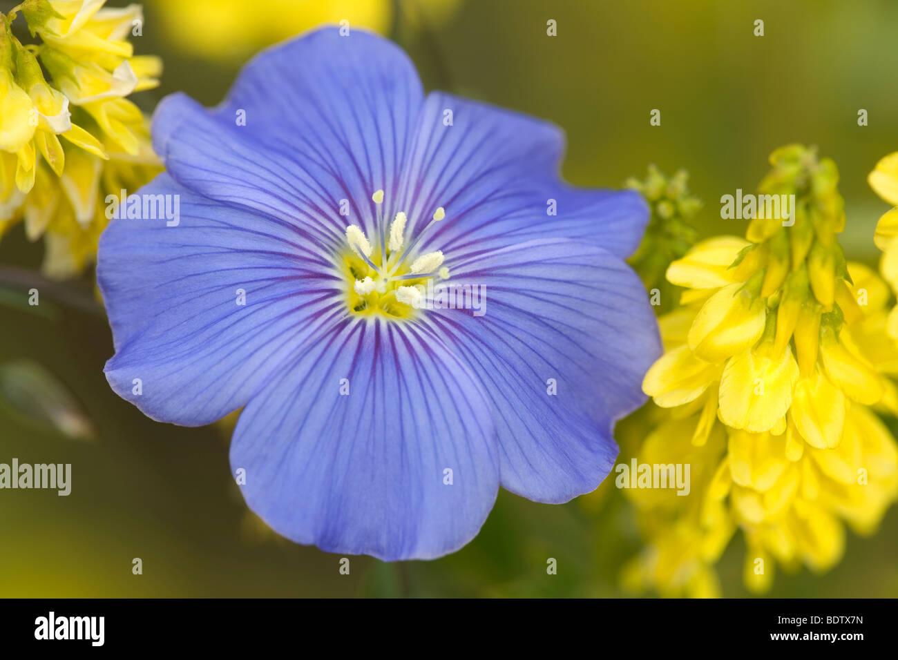 Ausdauernder Lein - (Stauden-Lein) / Blue Flax - (Wild Blue Flax) / Linum perenne - Stock Image