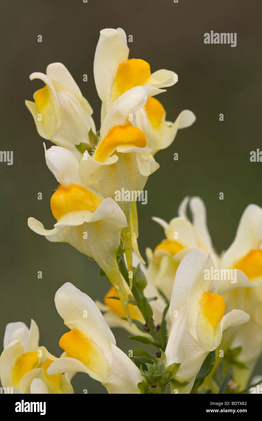 Echtes Leinkraut / Butter and Eggs - (Common Toadflax) / Linaria vulgaris Stock Photo