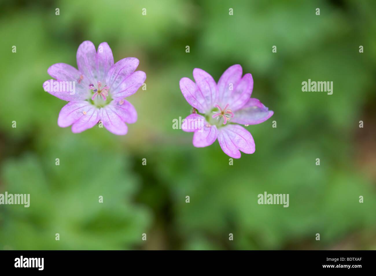 Weicher Storchschnabel / Dove s-foot Cranes-bill - (Dovefoot) / Geranium molle - Stock Image