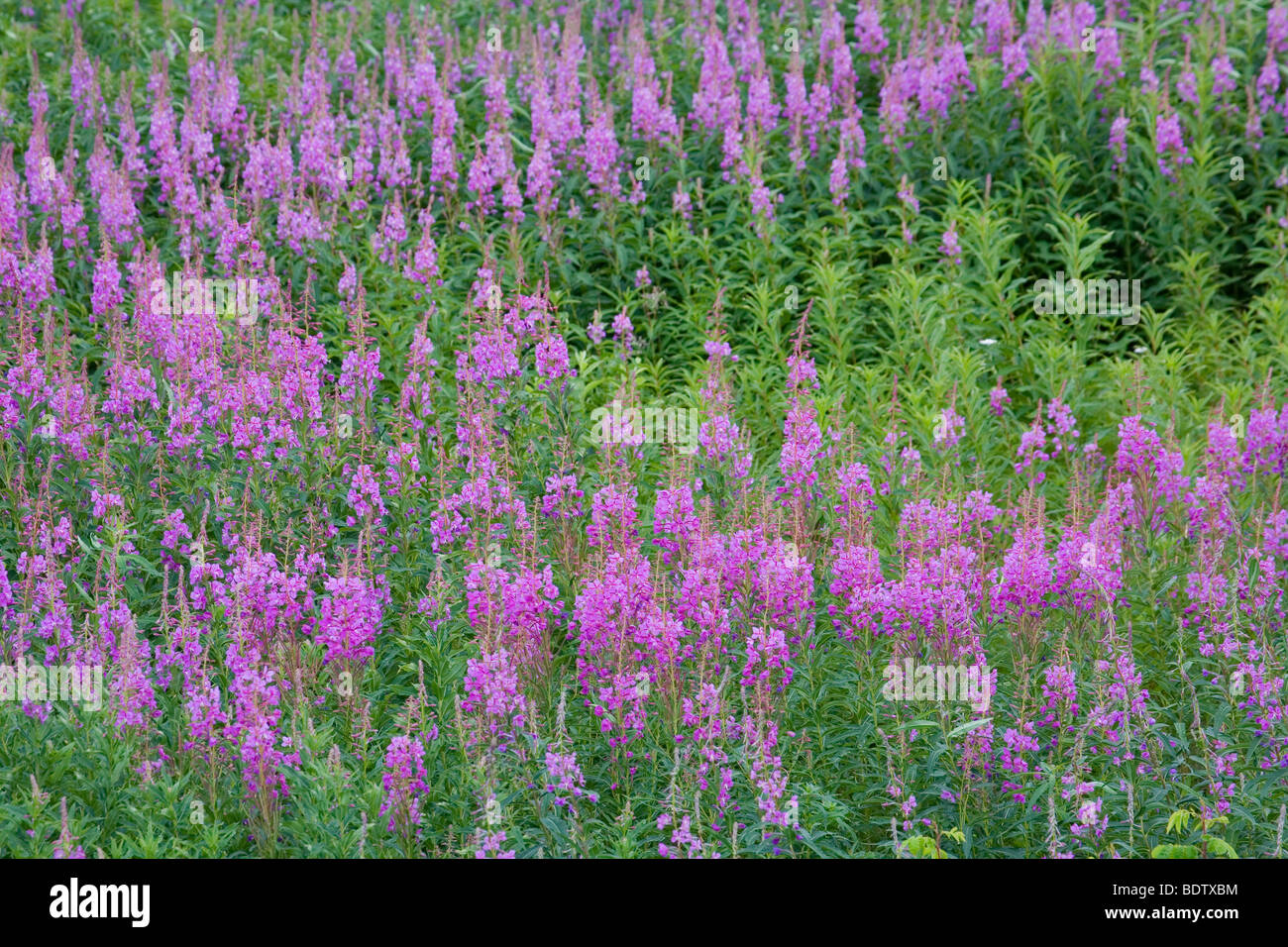 Schmalblaettriges Weidenroeschen / Fireweed - (Blooming Sally) / Chamerion angustifolium - (Epilobium angustifolium) Stock Photo