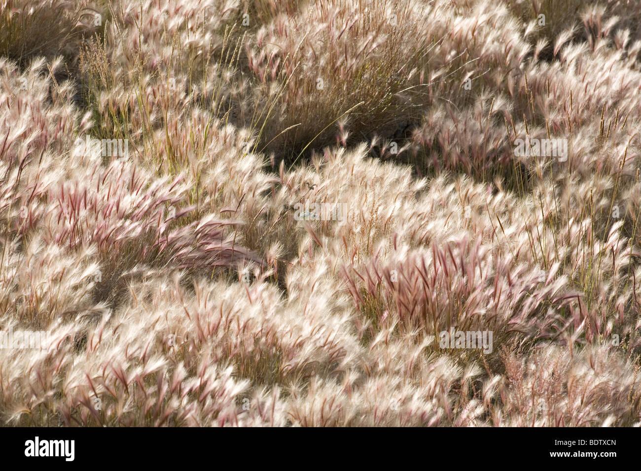 Maehnen-Gerste / Foxtail Barley / Hordeum jubatum Stock Photo