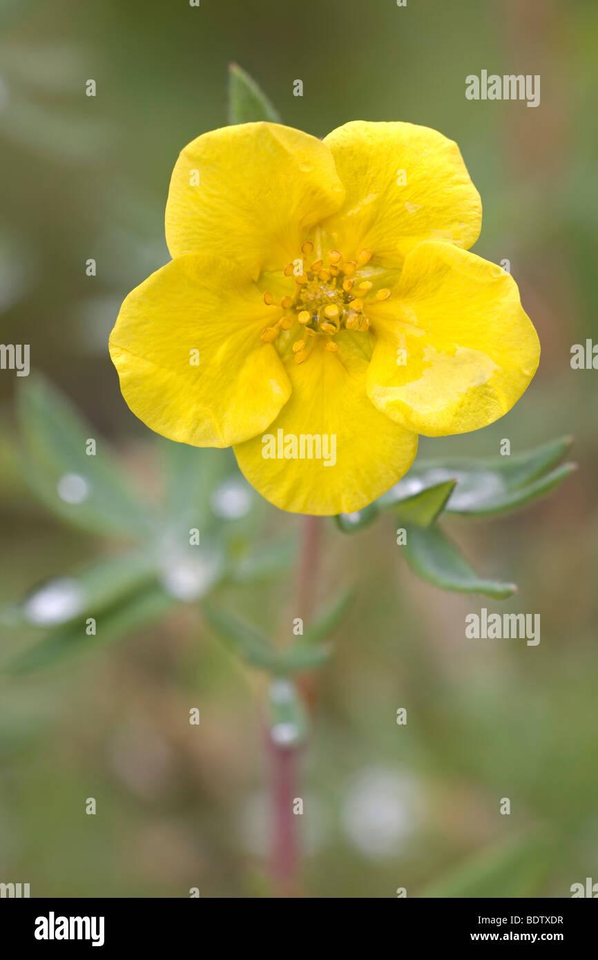 Fingerstrauch / Shrubby Cinquefoil / Dasiphora fruticosa - (Potentilla fruticosa) Stock Photo