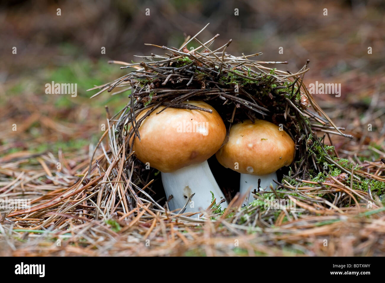 Orangeroter Graustieltaeubling / Red-capped Russula / Russula decolorans Stock Photo