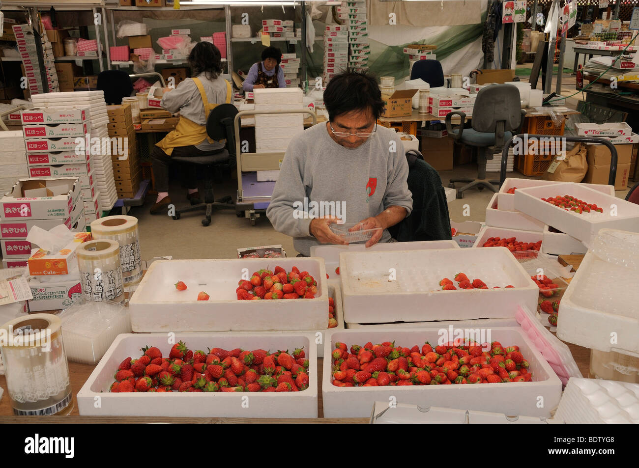 Strawberry plantation, strawberries are individually packaged for retail, Shizuoka Prefecture, Japan, Asia - Stock Image