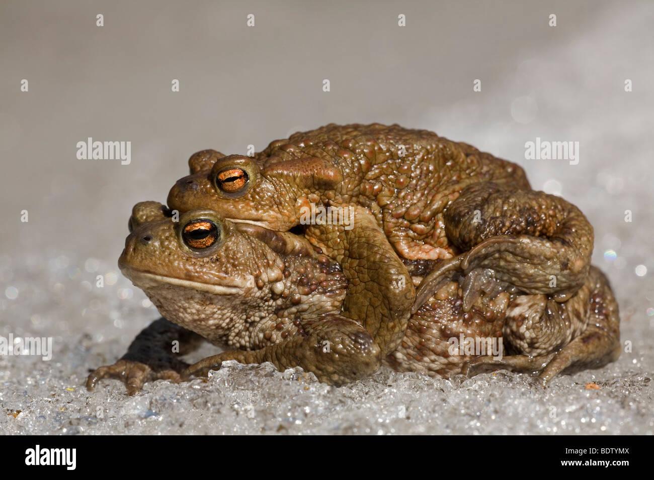 Erdkroete - (Erdkroetenpaar), Common Toad - male & female (Bufo bufo) Stock Photo