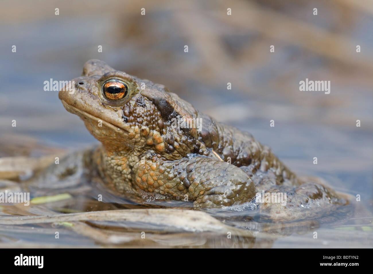 Erdkroete, Common Toad (Bufo bufo) Stock Photo