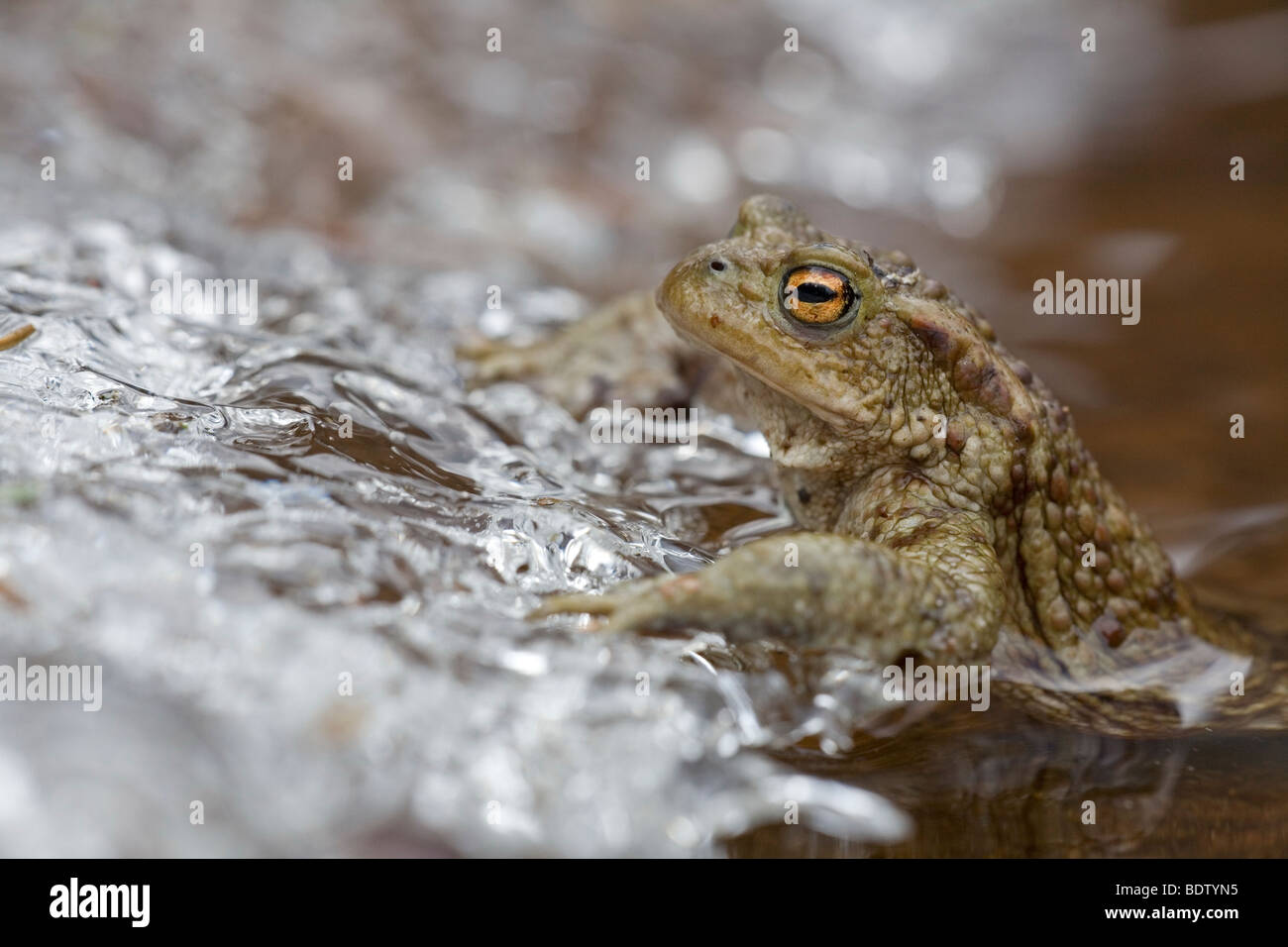 Erdkroete an Eiskante, Common Toad at sheet of ice (Bufo bufo) Stock Photo