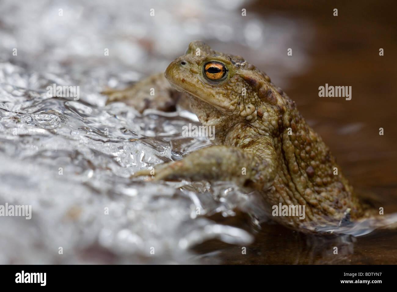 Erdkroete an Eiskante, Common Toad at sheet of ice (Bufo bufo) Stock Photo