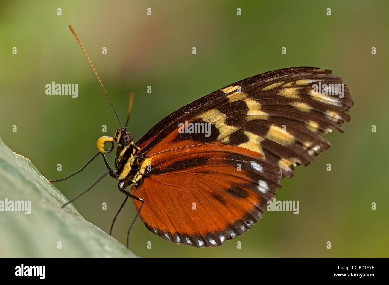 Tiger-Passionsfalter, Heliconius ismenius, Tiger Heliconian, Ismenius Tiger - Stock Image