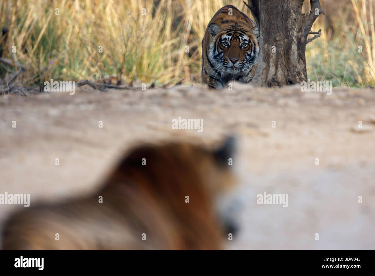 indischer tiger, koenigstiger, panthera tigris tigris, indien, asien, royal bengal tiger, india, asia - Stock Image