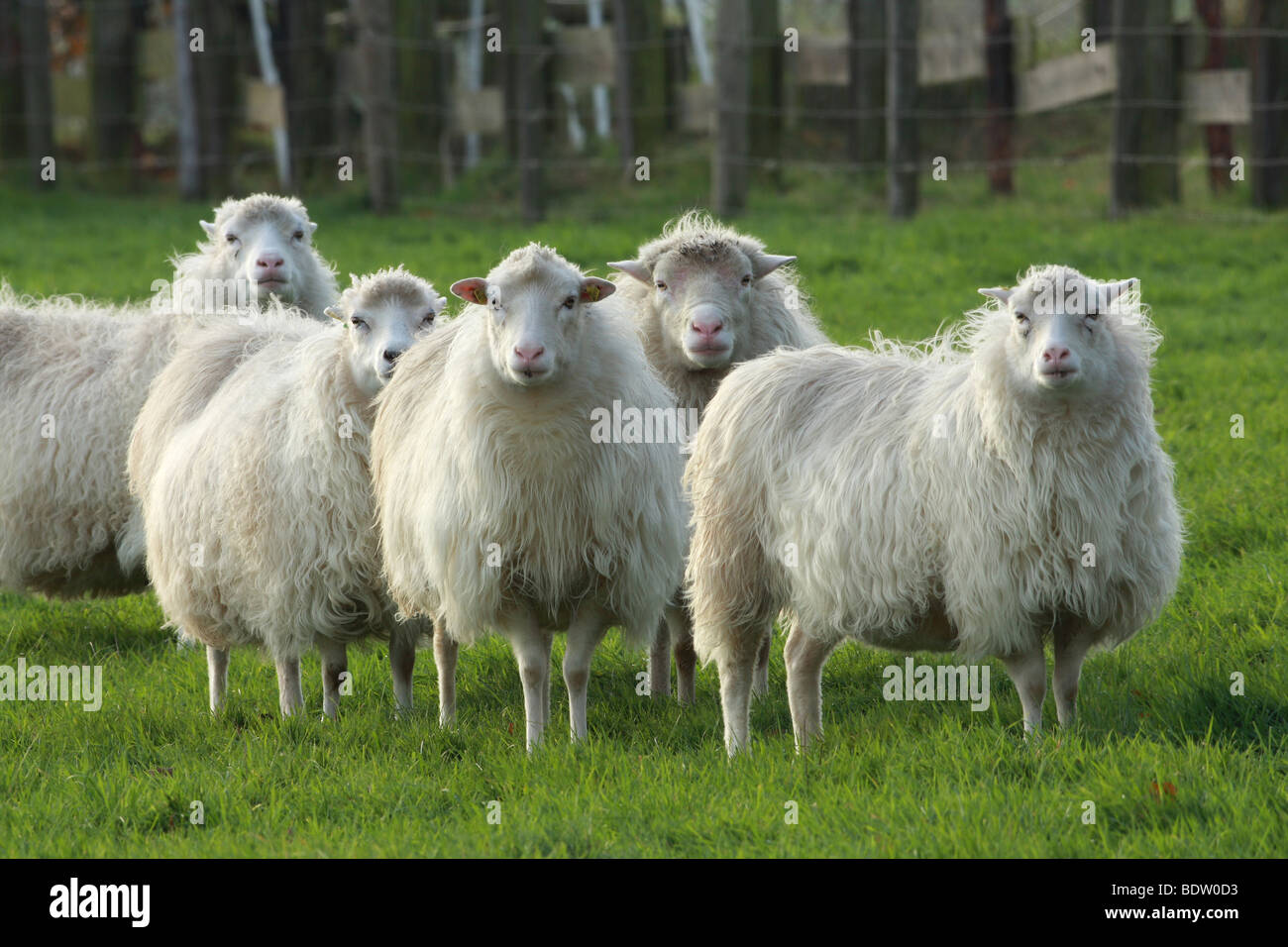 Hausschaaf, Sheep Stock Photo