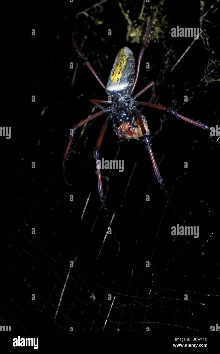 Golden orb-web spider, (Nephila clavipes), Madagascar, Africa - Stock Image