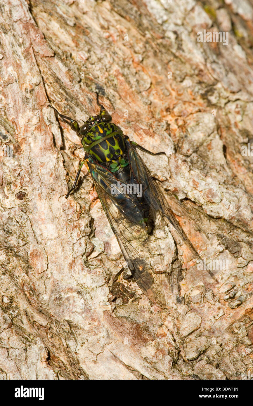 Captain Cook Cicada (Amphipsalta zelandica) at tree trunk chirping loudly, Kaitoke Regional Park, Wellington District - Stock Image