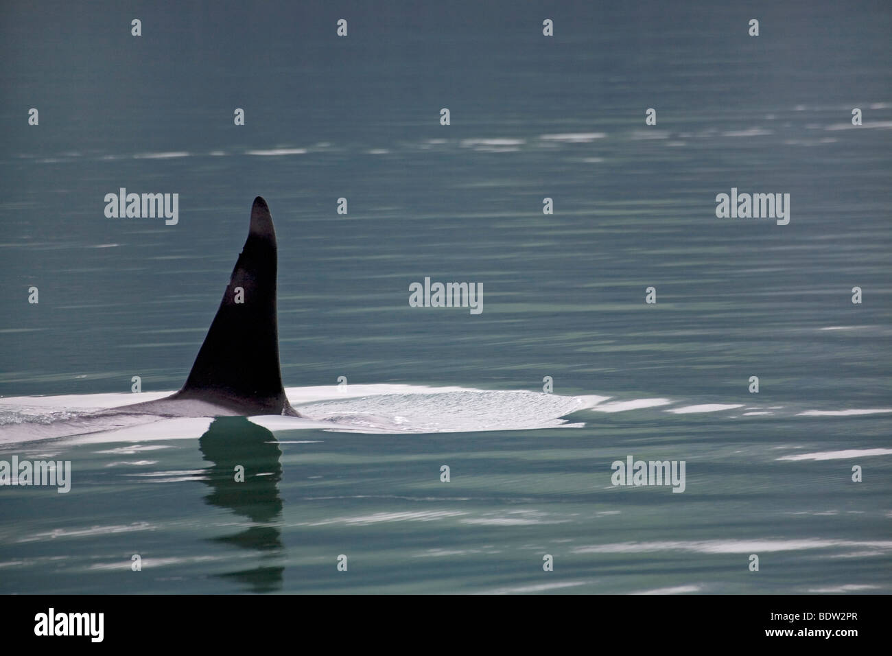 Orca fin protruding from water surface - Stock Image