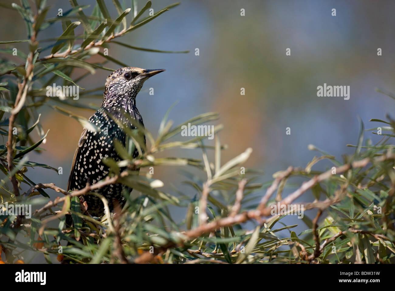 Starling & Sea Buckthorn / Sturnus vulgaris & Hippophae rhamnoides Stock Photo