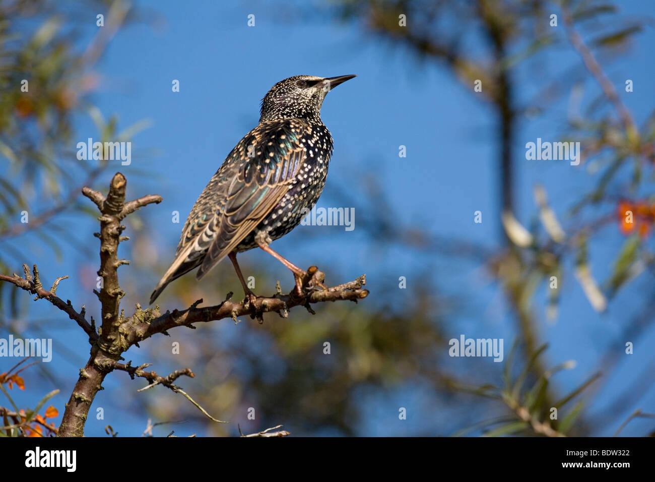 Starling & Sea Buckthorn / Sturnus vulgaris & Hippophae rhamnoides Stock Photo