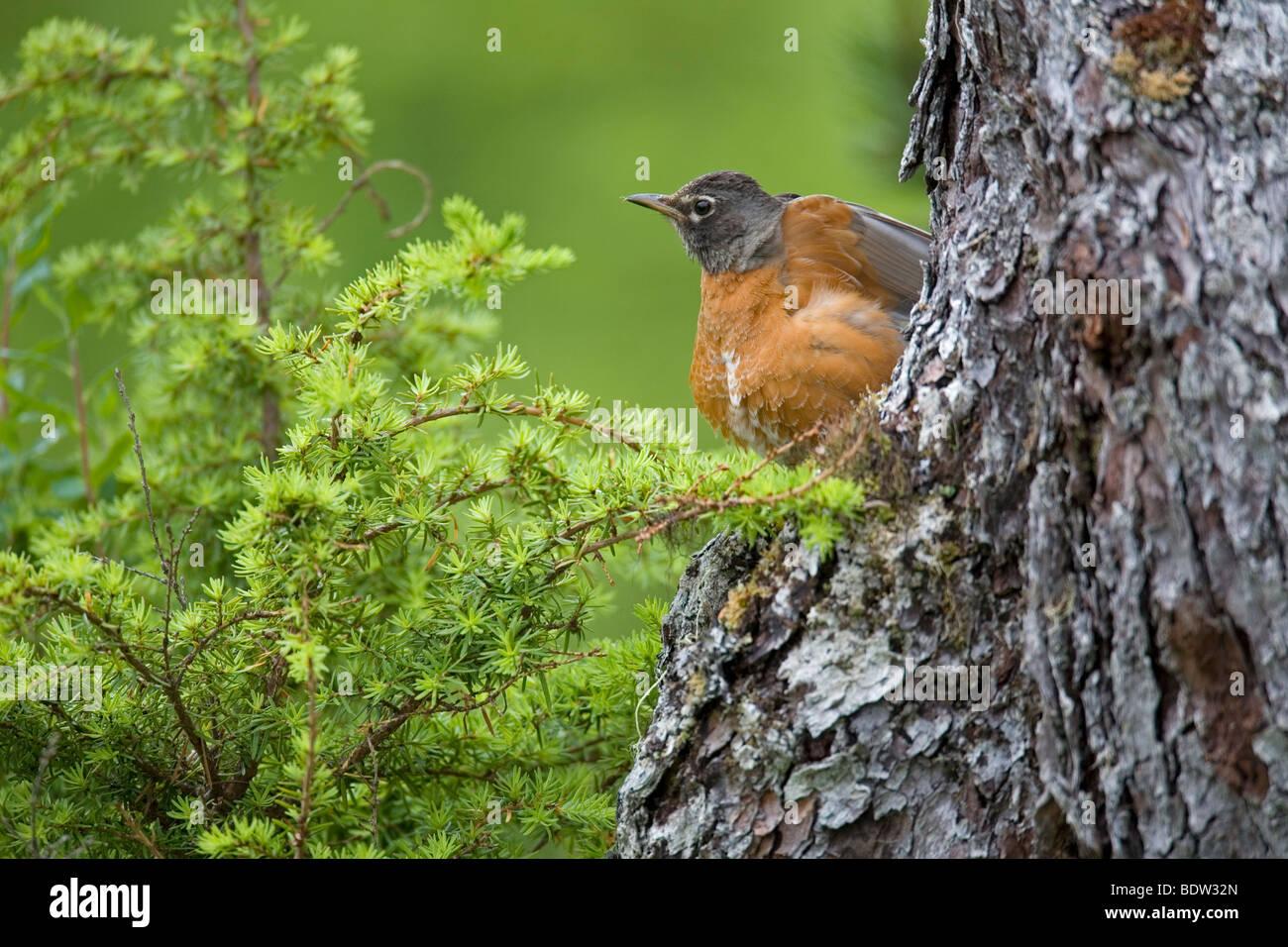 Wanderdrossel, American Robin (Turdus migratorius) Stock Photo